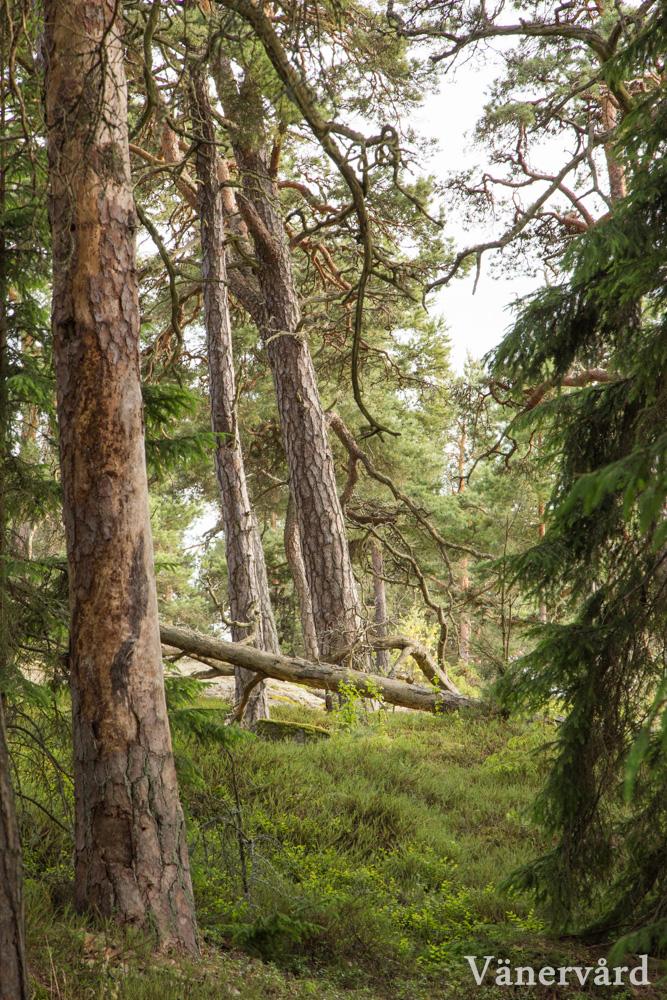 Naturskog i Kristinehamns skärgård