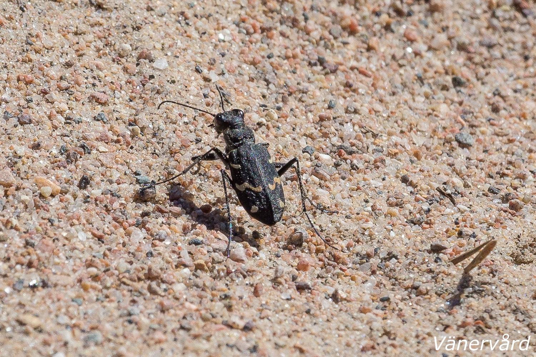 Skogssandjägare i Sörmons sand. Såg flera stycken, roliga små insekter det där. Snabba!