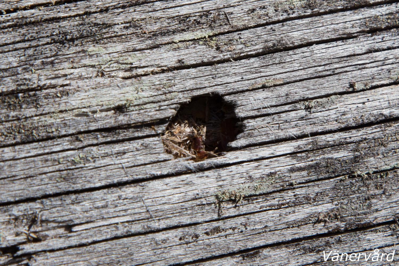 Kläckhål av larven från raggbock (NT)