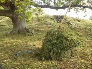 Fornvårdsarbete på Lurö kyrkoruin i juni 2015. Avslaget gräs avlägsnas på en hökärra.