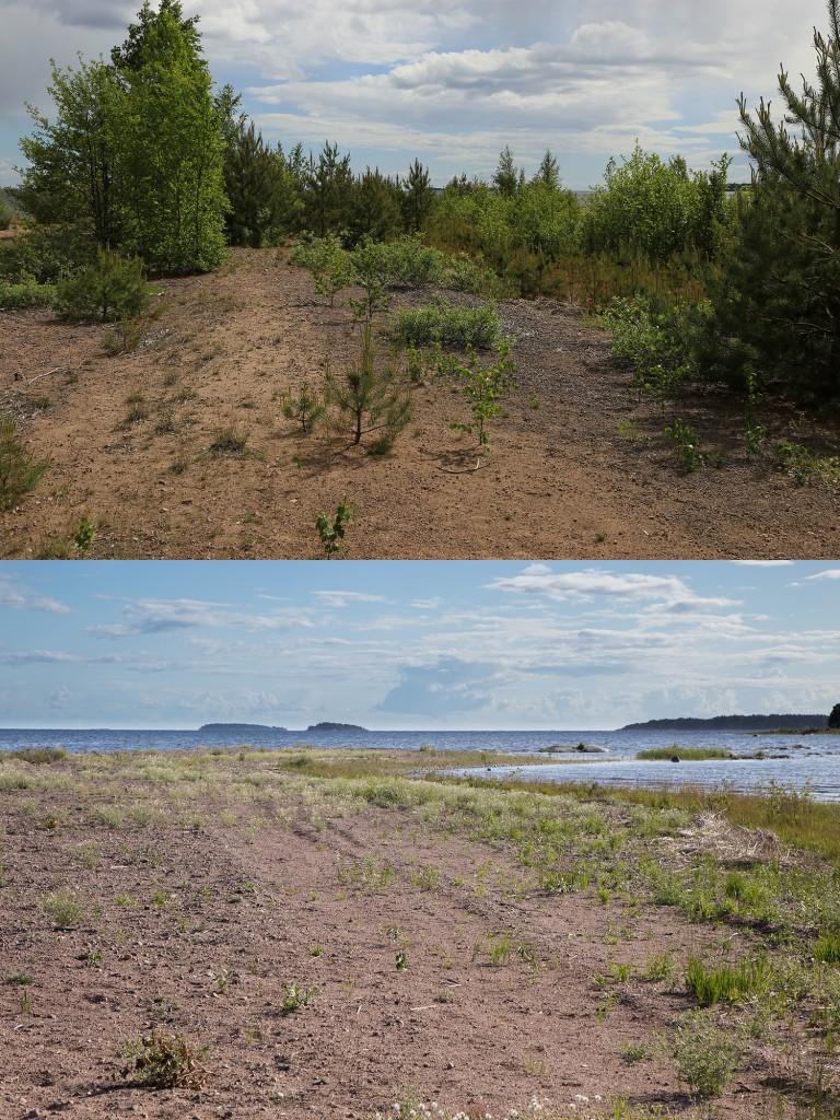 Långeruddens sandstrand sommaren 2013 och sommaren 2015. En hel del uppslag av klibbkorsört, men ytterst lite, eller ingen, vedartad vegetation i det rotryckta. Mycket gott resultat än så länge.