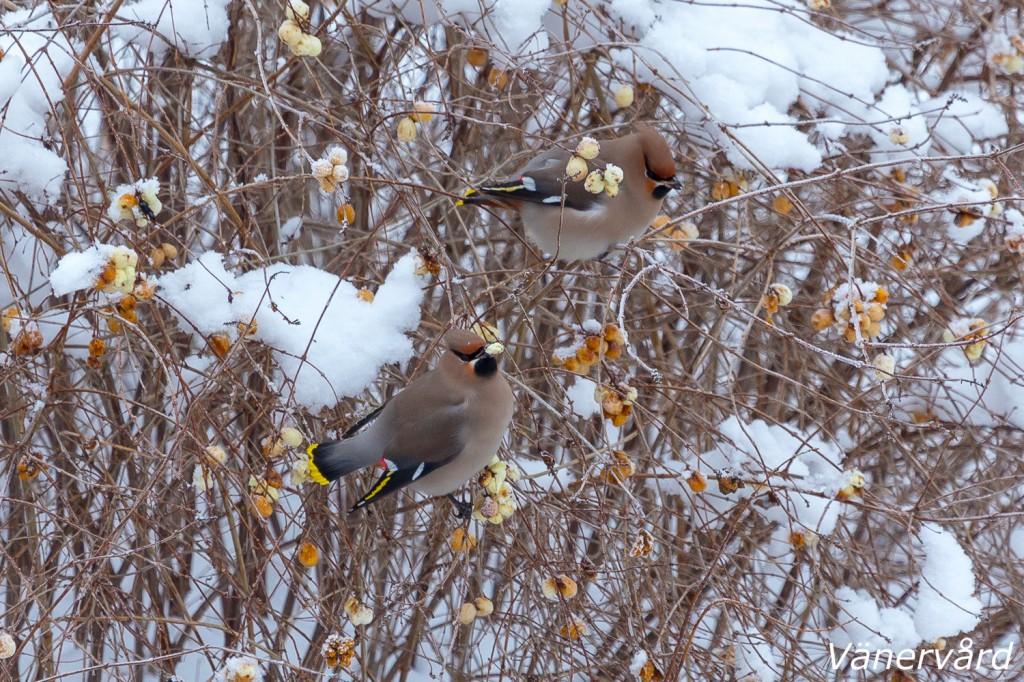 Sidensvansar i snöbärsbusken.
