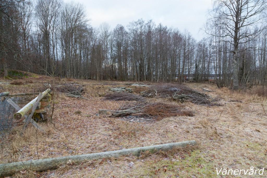 Strandängen norr om Jäverö äng. Här växer några almar, hassel och lind. Vi har även sparat, till höger i bild, al och en äldre björk. Föryngring av hassel sker spontant och kommer att gynnas under framtida skötsel.