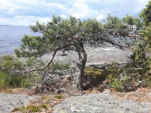 Tall på 50-100 cm växer i strandlinjen på Västra Söön.