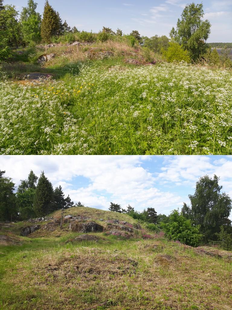En bild från före och efter slåtter på borgruinen på Saxholmen.